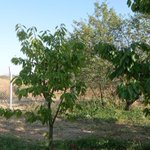 Image for the Tweet beginning: #KirazDiyari'nda temizlik yapıldı. Ağaçlarım budandı.