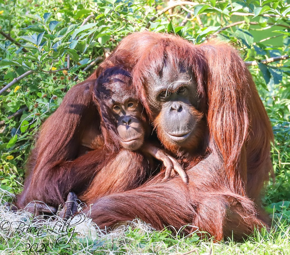 Bornean orangutans 'Tatau' and mother 'Mali' having a cuddle @PaigntonZoo #orangutans https://t.co/qSEaBdUt7H