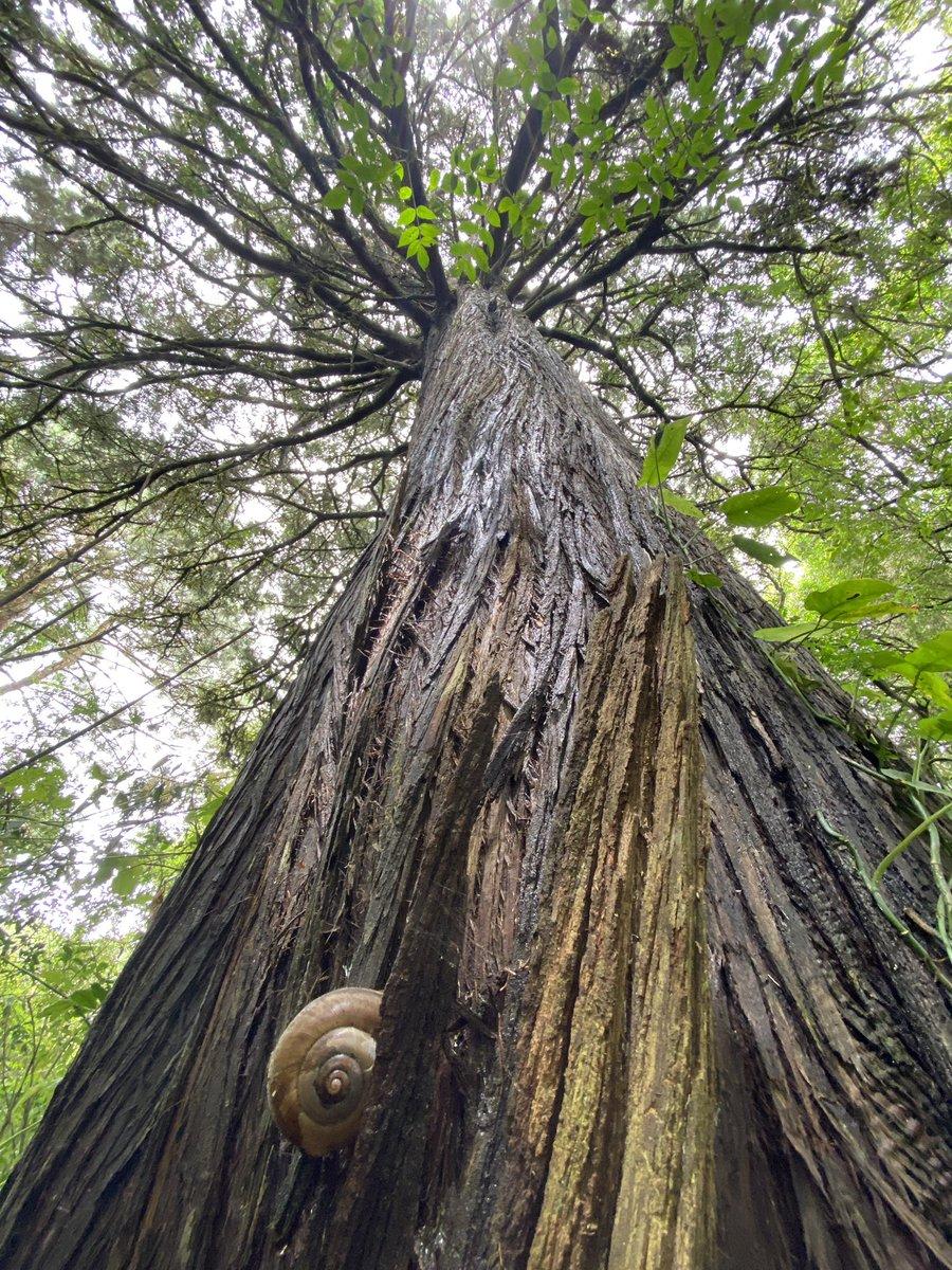 Giant cypress, giant snail. #trees #snails #nature #todayatwork #eltular #guatemala #naturaleza #cupressus #cypress #snail #caracol https://t.co/KVxwYh9lMl