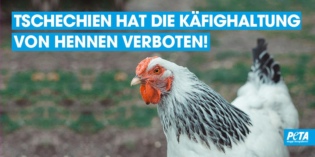 +++ ERFOLG +++  Das tschechische Parlament hat für ein Verbot der Käfighaltung von Hennen abgestimmt. 🎉🐔  Wir gratulieren den Aktivisten und Aktivistinnen von @ObranciZvirat, die drei Jahre für diesen Entschluss gekämpft haben. ❤ https://t.co/Vlp2EI37yy
