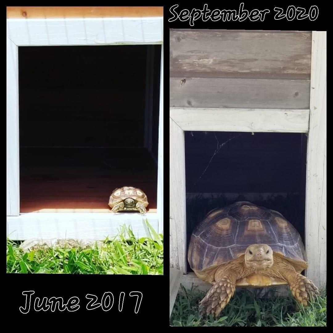 Same tortoise - same house - three years different 🐢 ❤️😎