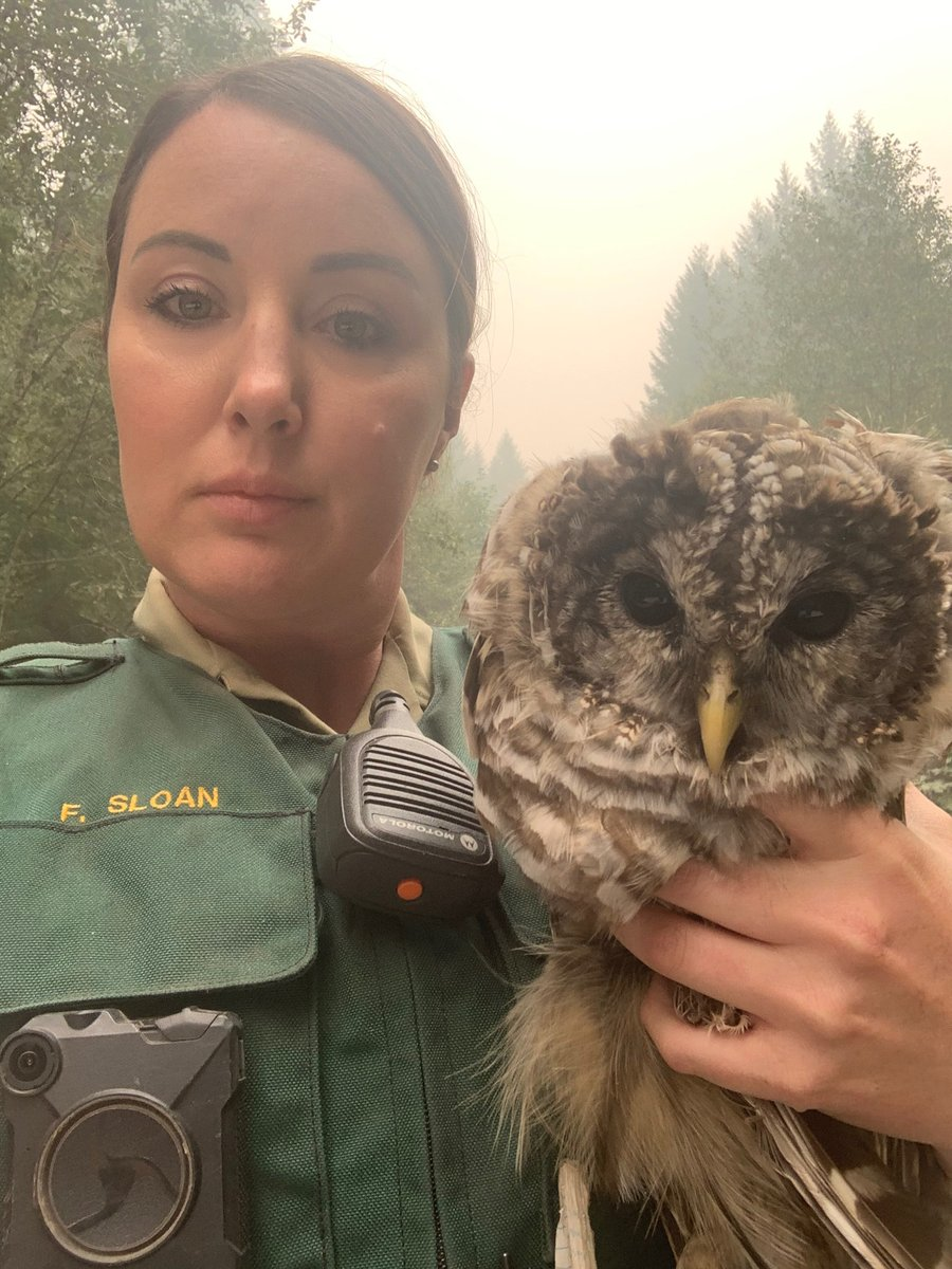 Heres a feel good story to brighten our days among the smoke & loss . . . LEO Felecia Sloan was doing evacuations yesterday & came across this injured owl. She was able to transport the owl to the Wildlife Center for injured wildlife in Corvallis. Looking for the silver linings!