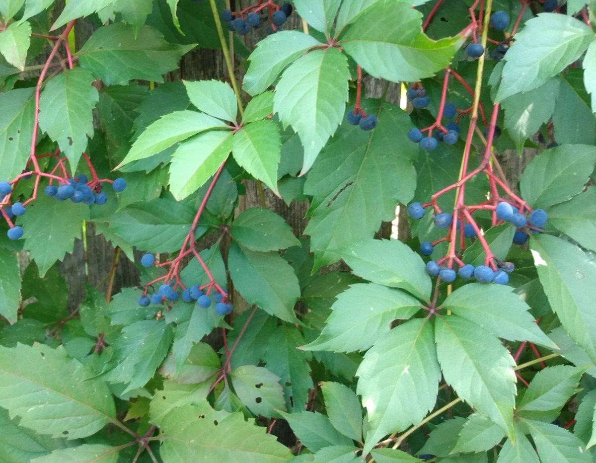 Some lovely Virginia creeper berries in the garden. If my neighbors stopped mowing their lawns like I did they could have a free #nativeplantgarden installed for them by the birds! #nomow #IMBY #gardeningtips #gardenlife #plantmom #birding #ClimateAction #reforest #rewild https://t.co/XzdIz9D71b
