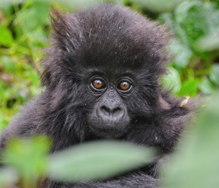 Kwita Izina 2020 is set for 24th September and will be held virtually. Keep informed on social media and follow this annual #gorillanaming event https://t.co/BeY2Ghv7oR #Rwandagorillatour #gorillatrekkingrwanda #kwitaizina https://t.co/X0wKTGarYy