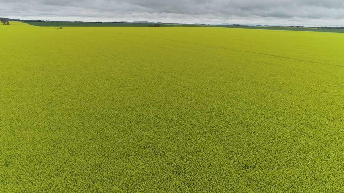 Travelling through Vic Western District and thought this paddock was worth putting the drone over! #Aussiefarmers #canola https://t.co/4hJJ6MRGU2