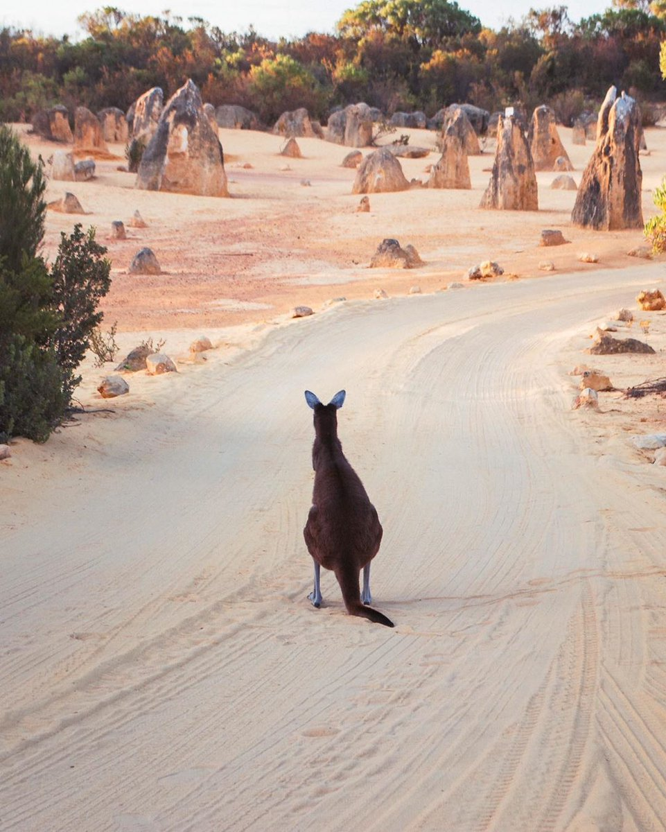 The #PinnaclesDesert is so surreal even the local #kangaroos can't help but stare 👀   IG/rankinsteinmonster captured this inquisitive fellow exploring the otherworldly rock formations in #NambungNationalPark in @WestAustralia's @thecoralcoastregion.   #seeaustralia #thisisWA https://t.co/fccL7QlTgi