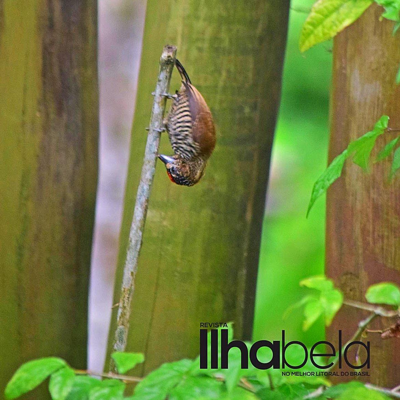 #picapauzinho #maroto! Gosta de levar a vida de #pontacabeça . . #picapau #woodpecker #upsidedown #headoverfeet #Ilhabela #birdwatching #turismoilhabela #revistailhabela https://t.co/Rrx6maThjk