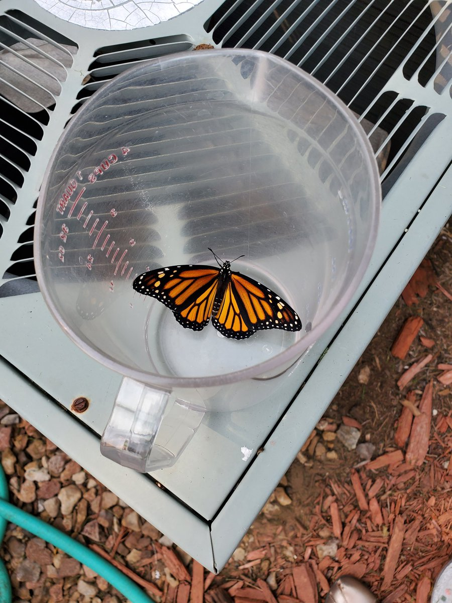 """The 6th graders """"hatched"""" a female monarch today and ireleased her into the butterfly garden.   She will hopefully make her way to Mexico.  @HopeLutheranKC #butterflygarden #Monarchs #monarchwatch https://t.co/sE4aoFrPzS"""