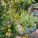 Image for the Tweet beginning: Black-eyed Susans, obedient plant, and