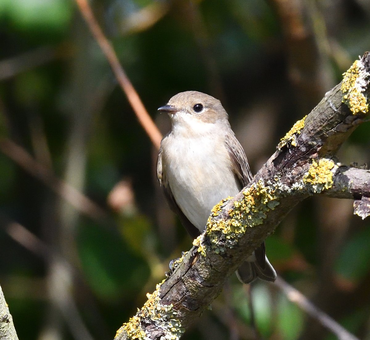 This ringed #PiedFlycatcher spent most of the day in the trees by the road between the pub and Kew Villa, it kept dropping to the pavement presumably for insects but the cars kept speeding around the corner pushing it back into the trees again - stressful to watch! #SpurnBirds https://t.co/Nm6tbuEnGD