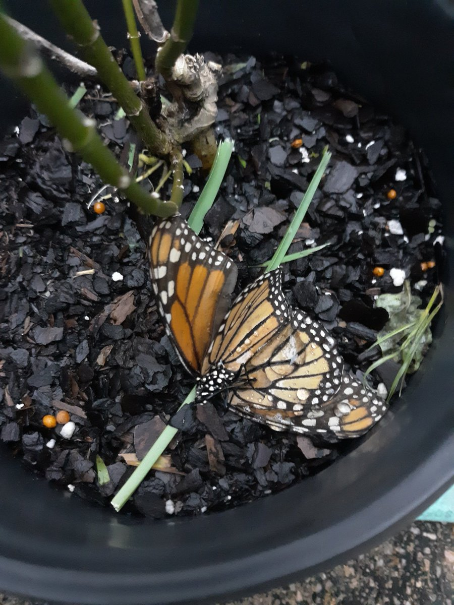 Found 5 hatchlings and 2 survivors that shall all be named Sally. Also, this was their mom and after leaving me all her eggs, she found a cozy spot to finish her cycle so these bbs will be cared for well.  #monarchbutterfly #monarchcaterpillars #rearingmonarchs #HurricaneSally https://t.co/Lg0hDSZsFR