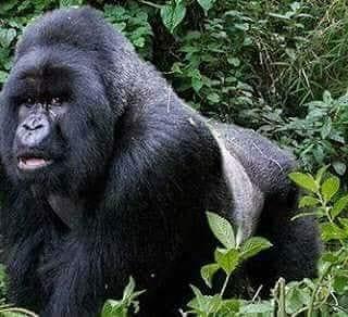 #VisitUganda #gorillatracking #experience #explore #LuxuryTravel #touroperators #mountaineering #naturelovers #wildlifelovers #adventureseeker #gemany #Netherlands #Italy book now at kitanda@infocom.co.ug or https://t.co/PVMOA2PGs4 https://t.co/F6ulvTY1Xc