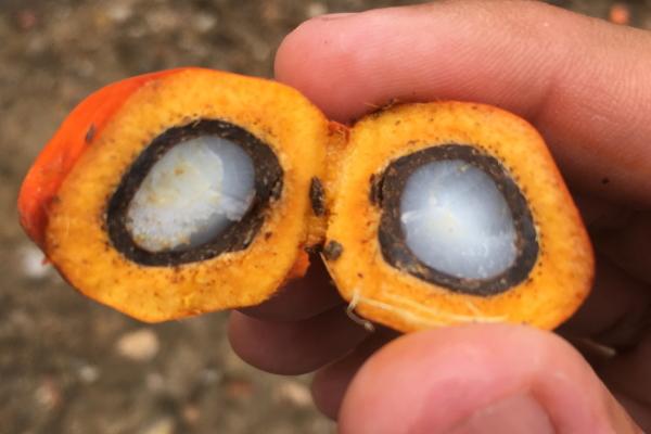 Nutrición y medio ambiente alrededor de la polémica del aceite de palma #infomx #SaludyCiencia https://t.co/0eTgJyZq3m https://t.co/33rI0ttQ8j