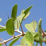 Ziziphus spina-christi (Rhamnaceae). Reputed to be the crown of thorns. Native to N. Africa, SW Asia. Long used for medicine and honey production. Useful as a street tree in arid parts of the world.