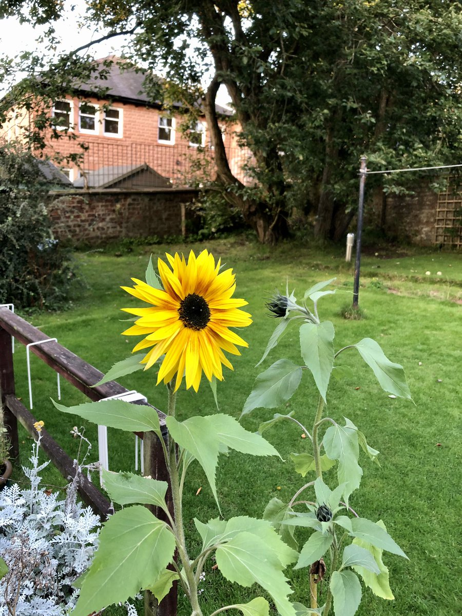 Optimism- a sunflower blooms in Glasgow https://t.co/OPcGQ7ZS0I