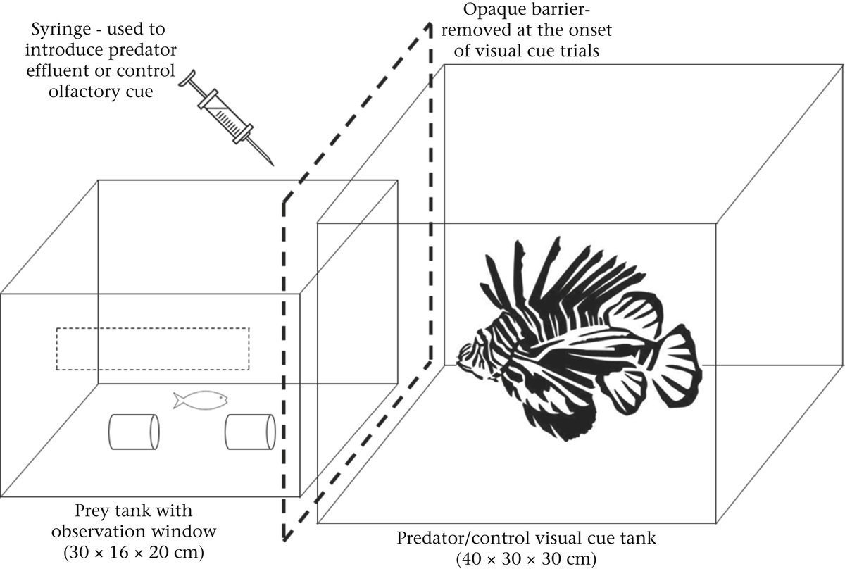 Animal Behaviour, June 2020 📰 AE Berchtold & @redlipblenny found that Caribbean parrotfish freeze when they see or smell  native predatory groupers, but don't respond to similar cues from invasive lionfish. https://t.co/jbZw5Qh8pT https://t.co/Sl9NdmH3hV