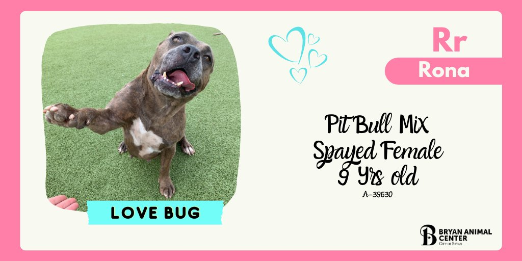 High five for Friday!!! Rona is a super sweet, senior pit bull mix. She loves belly rubs and of course high fives!  She absolutely loves attention and trying to fit in your lap. #BryanAnimalCenter #CityofBryan #Friday #Adopt #HighfiveitsFriday #Pitbull #Seniordogs #Kisses
