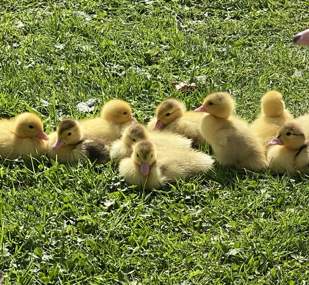 Just some wholesome ducklings to make you smile 🥰 https://t.co/8tYUXIMMz3