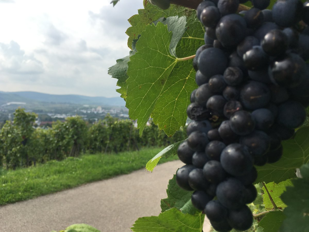 🍇🍇🍇 #Wochenendgrüße aus den Weinbergen rund um #Weinstadt #TGIF...