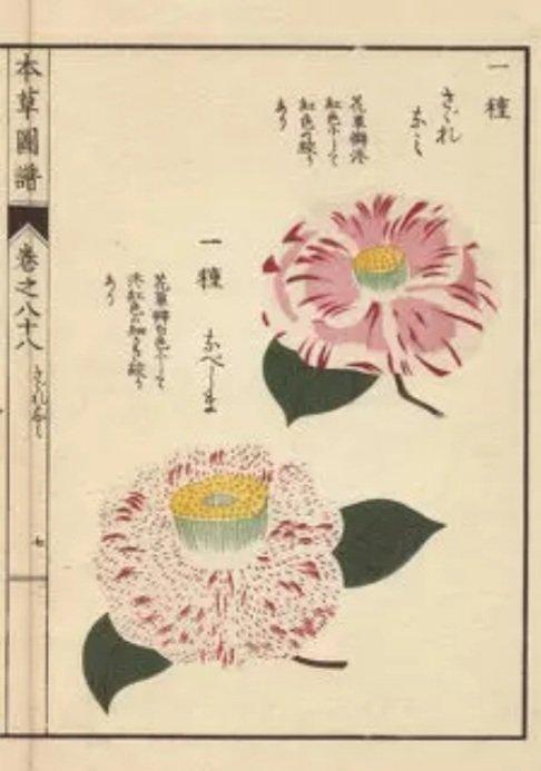 Illustration of Pink Camellias from the book Honzo Zufu by Iwasaki Tsunemasa. https://t.co/onWU5Vjzup