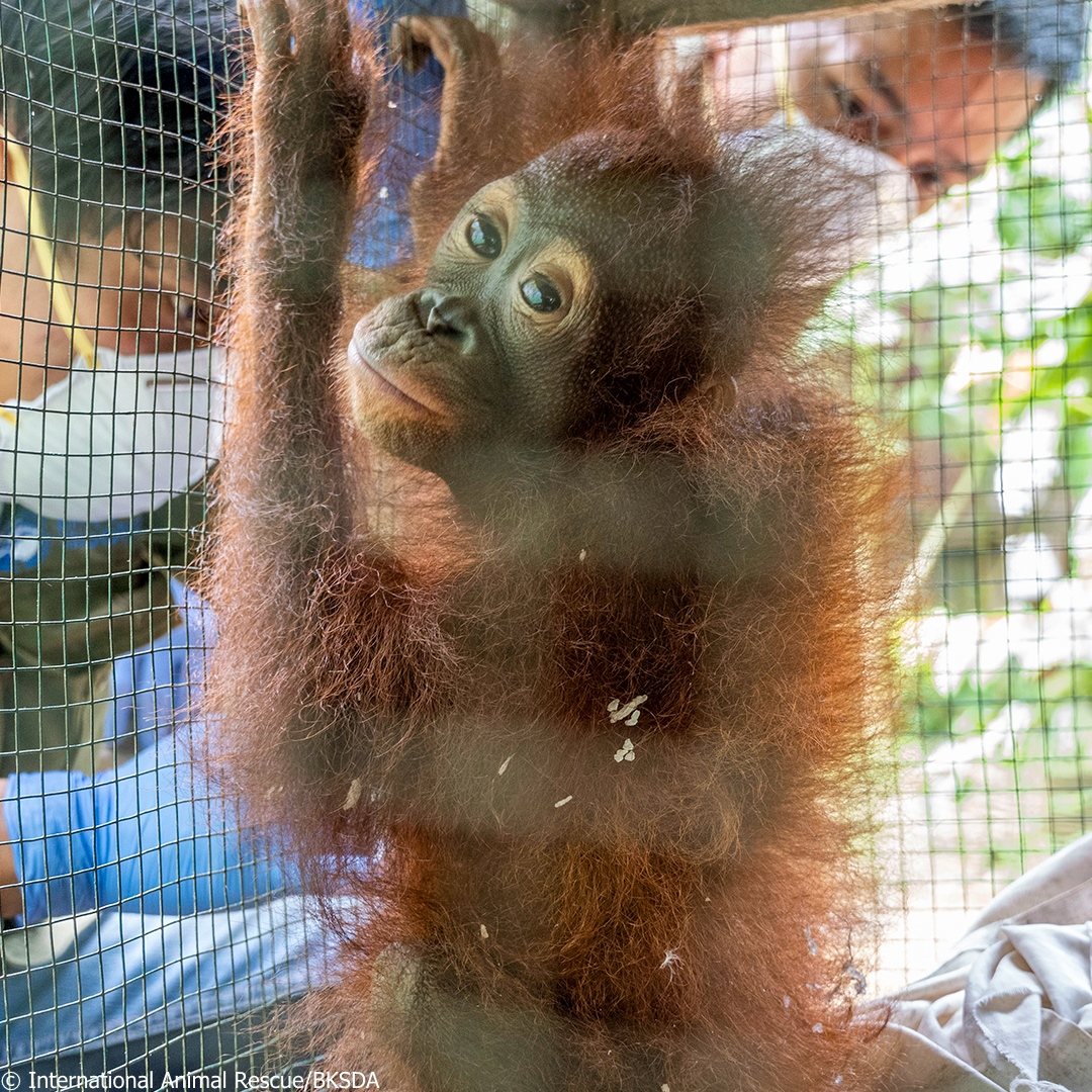 IAR Indonesia and the Natural Resources Conservation Agency (BKSDA) have rescued a baby orangutan that was being kept illegally as a pet.   Please make a donation to help Covita recover: https://t.co/44SYTgmJgR  #orangutans #animalrescue #apes #helpanimals #wildlife https://t.co/ruK9bMswKj