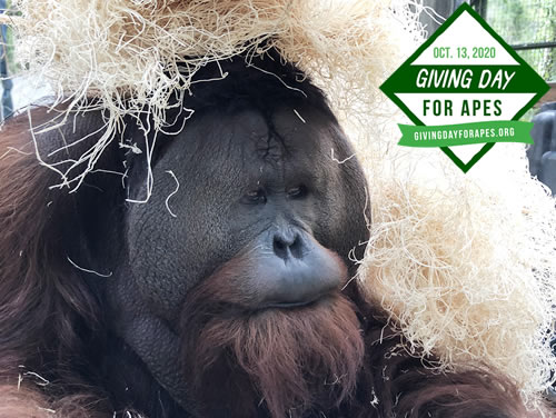 """#GivingDayforApes is less than a month and fundraising has already begun! Want to help us win the $500 """"Kick-Off"""" prize? Donate at https://t.co/qkfJnLoZdc and don't forget to share in your social circles!    #orangutans #chimpanzees #greatapes #giving https://t.co/H4LdMoHrlL"""