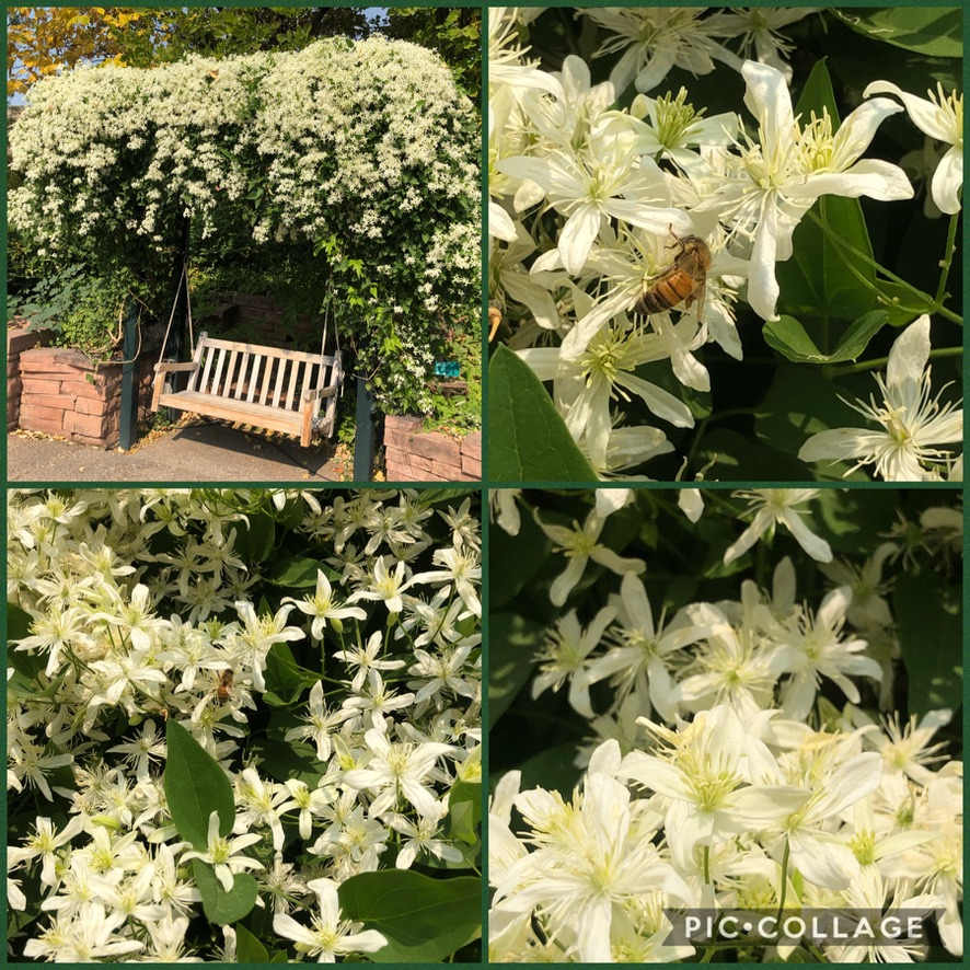 Clematis terniflora (sweet autumn clematis, sweet autumn virginsbower) blooming @redbuttegarden a member of the buttercup family #Ranunculaceae. Native to NE Asia (China, Japan, Korea, Mongolia, Russia (Siberia), Taiwan). Bees and pollinators love it too. #Gardening https://t.co/Yn5sClhcCD