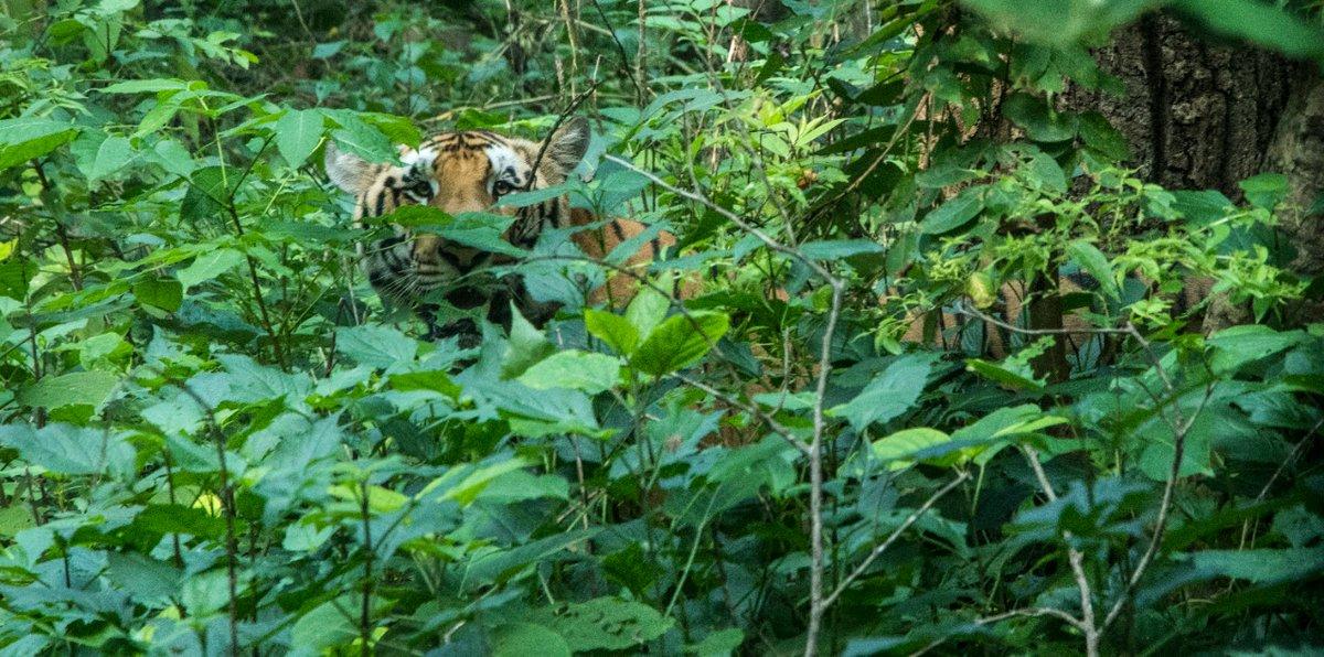 In a #forest the #tiger is always watching you. #NandhaurWildlifeSanctuary #Uttarakhand https://t.co/HwGQBRTSTj