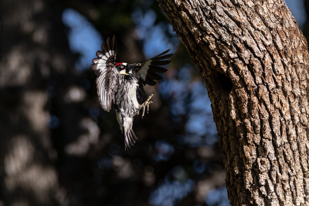 Acorn woodpecker hits the air brakes before landing in the woodlands of southwest Oregon, not far from Grizzly Peak -- photo: Mark Heatherington bit.ly/3iKnYN1