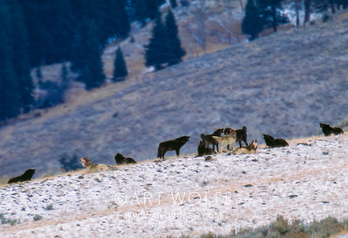#flashbackfriday Film capture from a couple decades ago of the Leopold Pack in Yellowstone. This week I'm back in Wyoming to photograph wildlife & landscapes. If I get anything good I'll show it on #TequilaTime! #wildlifephotography #explorecreateinspire https://t.co/RQDsvIPxHq
