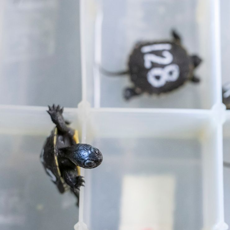Baby turtle alert! 🐢 At just 2 inches long in shell length, these tiny state-endangered Blanding's turtles are little hatchlings with a big future. Read more about how this partnership with @dupageforest aims to help this local species: https://t.co/YKcSaygY8F https://t.co/afLdjhmzfG