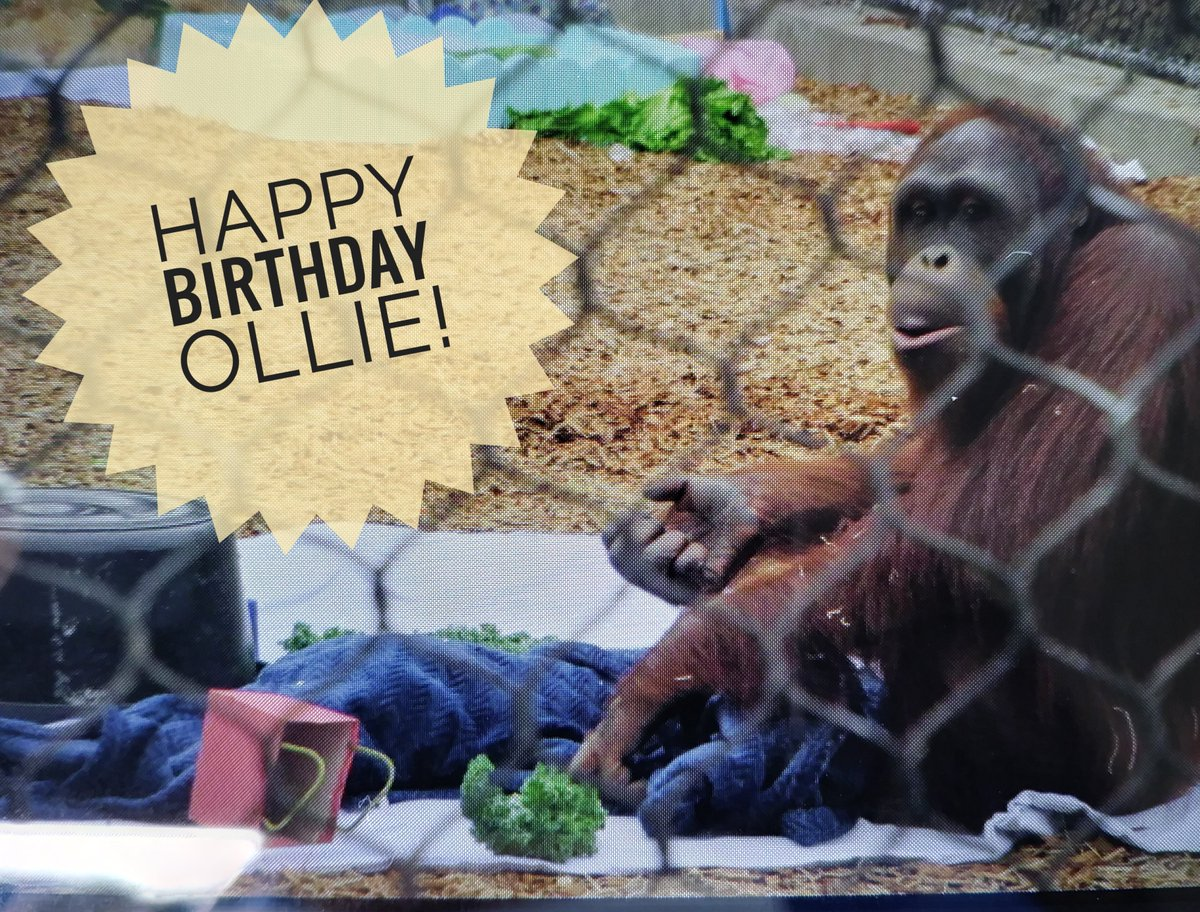 Happy Birthday Ollie!  San Francisco Zoo Orangutan turns 11!  #sfzoo # ErieZoo #Orangutans https://t.co/ZgAvkpWQNp