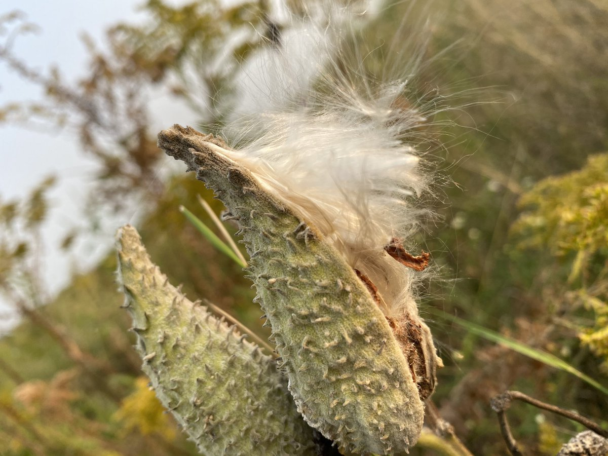 Wild cotton explodes into autumn's crisp new air from milkweed cocoons.  #poetry #poetrycommunity #poetrylovers #poem #poems #poemoftheday #writing #writer #writerslife #writers #poet  #haiku #instahaiku #haikucommunity https://t.co/xLinvsYtpx