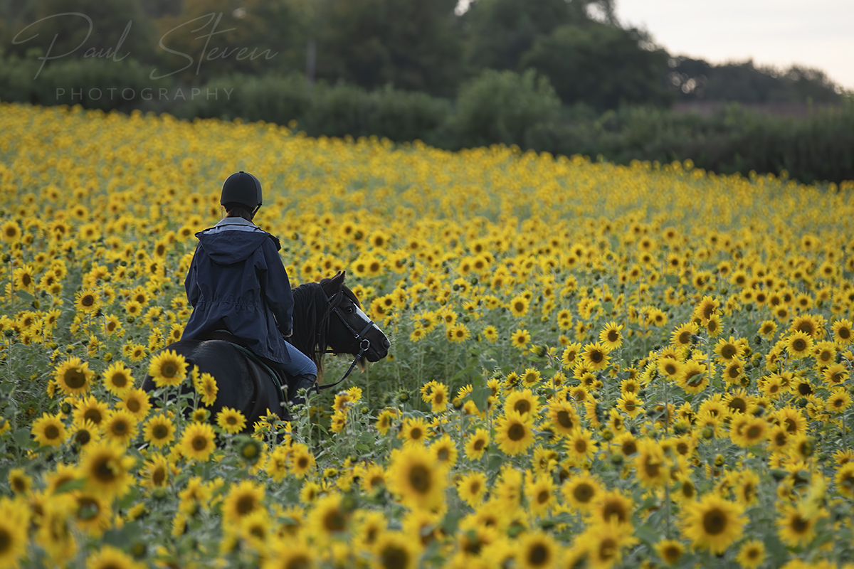 What a beautiful place to ride a horse #sunflowers #sunflowerphotography #thurloxtonfarm #thurloxtonsunflowers #somerset #taunton #horse #flowers https://t.co/5gosgEditB