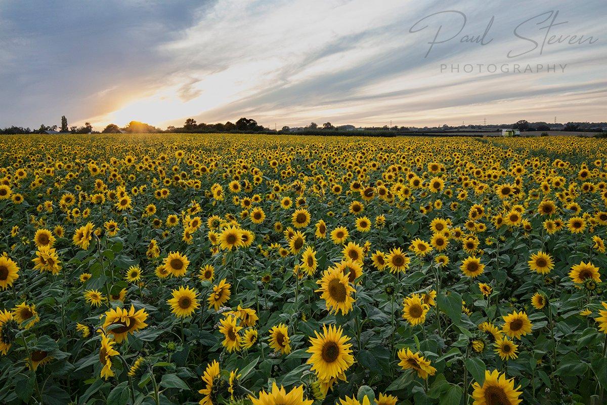 Field of sunflowers in Somerset #sunflowers #sunflowerphotography #thurloxtonfarm #thurloxtonsunflowers #somerset #taunton  #flowers https://t.co/iLJkUTemGY