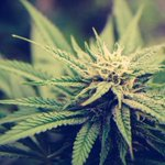 Image for the Tweet beginning: #cannabis #marijuana #weed Jackpot Marijuana