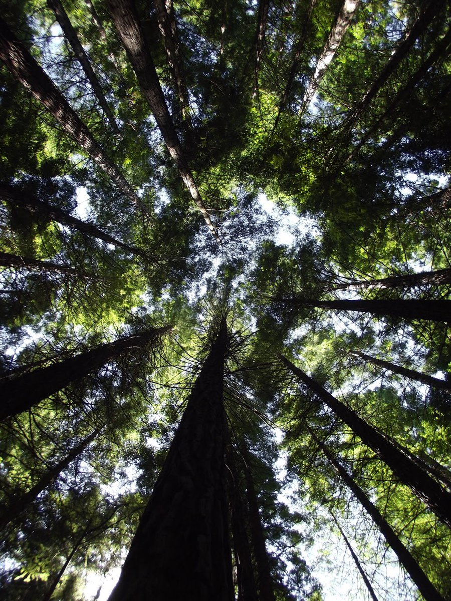 The sky is the limit. With all the limitations on what we can/can't do, it's hard to loose perspective.  I'm still looking up and trusting that good things are coming my way. Are you?   #writingcommunity #writerslife #indiauthor #cgsp #inspirational #trees #nature #grow #limits https://t.co/qLTcSCSP58