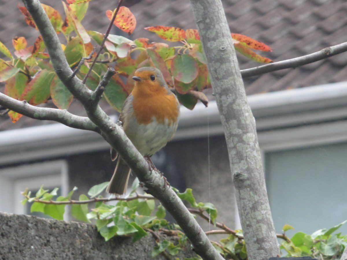 The only benefit of it coming into Autumn and Winter is seeing these little fellows land next to you in your garden. #Robin #birds #Ireland #Dublin https://t.co/c1RThh0wtu