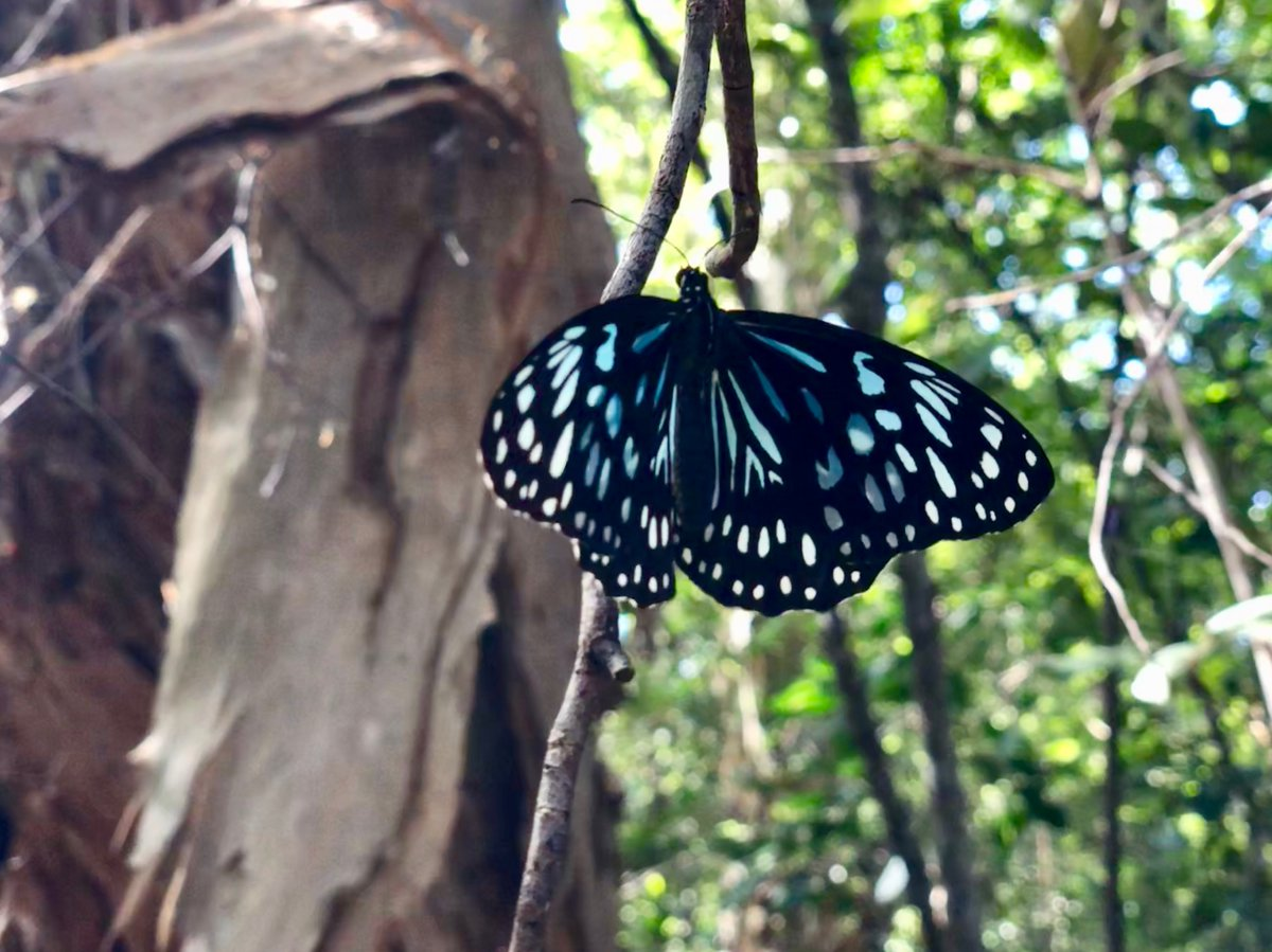 #Biodiversity2020 Month Day 19. This blue tiger (Tirumala limniace) was found in massive numbers at Magnetic Island this year. Favourable conditions saw the largest aggregations of butterflies in years on many places on the East Coast.  @envirogov @WildlifeAust @WildlifeQLD https://t.co/sesUEyIjUc