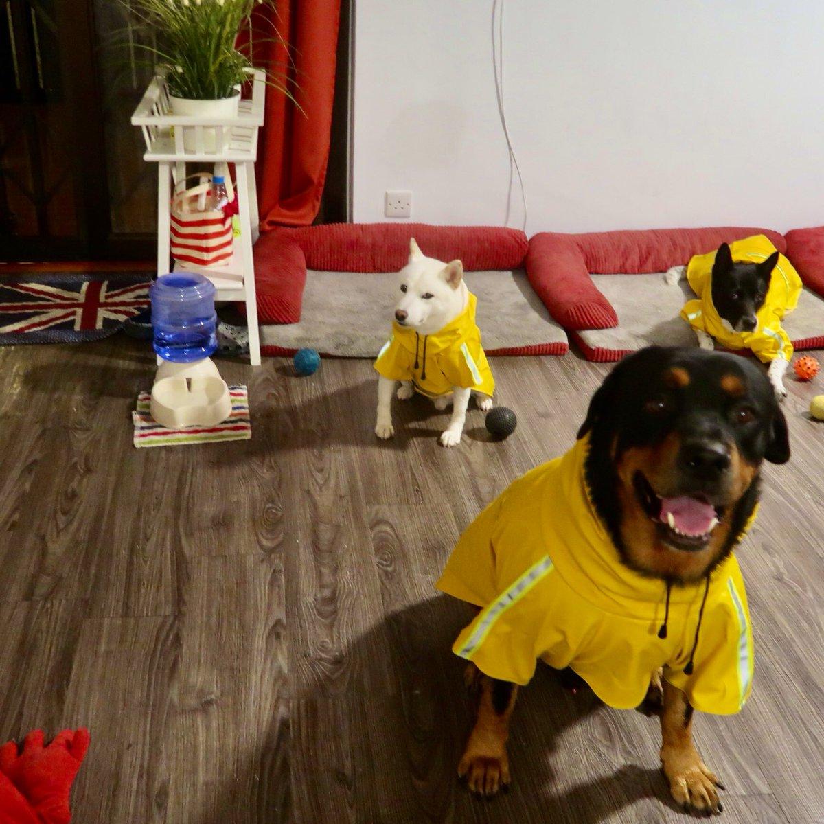 雨の日のお散歩は、お揃いの黄色いレインコート。 香港は今日も雨です☔️ #香港犬生活 #唐狗 #ロットワイラー #rottweiler #白柴 #柴犬 #香港 #hongkong https://t.co/JgNH7JIUDp
