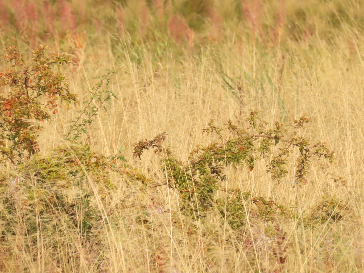 Berryhill fields this morning   1 whinchat 2 wheatear 2 of 13 Stonechat I saw.  1 Teal over a few swallows through too in  bright sun and cool east winds. @Staffsbirdnews @sbhfag https://t.co/GVykFrP9Qx