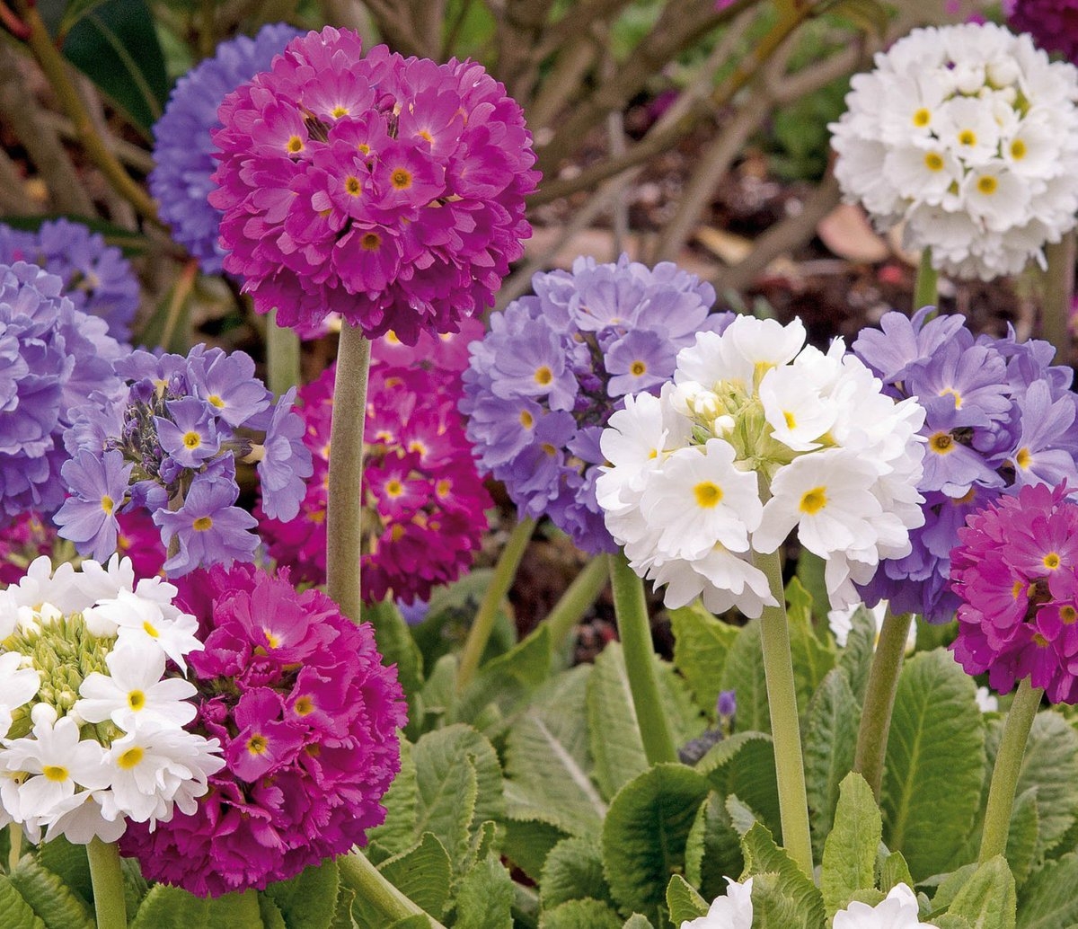 The fine-toothed primrose is a perennial primrose that features a serrated petal on the flower. This species has many subspecies, the color of which is white, red, and even purple.  #flower #flowerstagram #flores #flowersofinstagram #florist #outdoor #flowerpower https://t.co/kvAx8Skf14