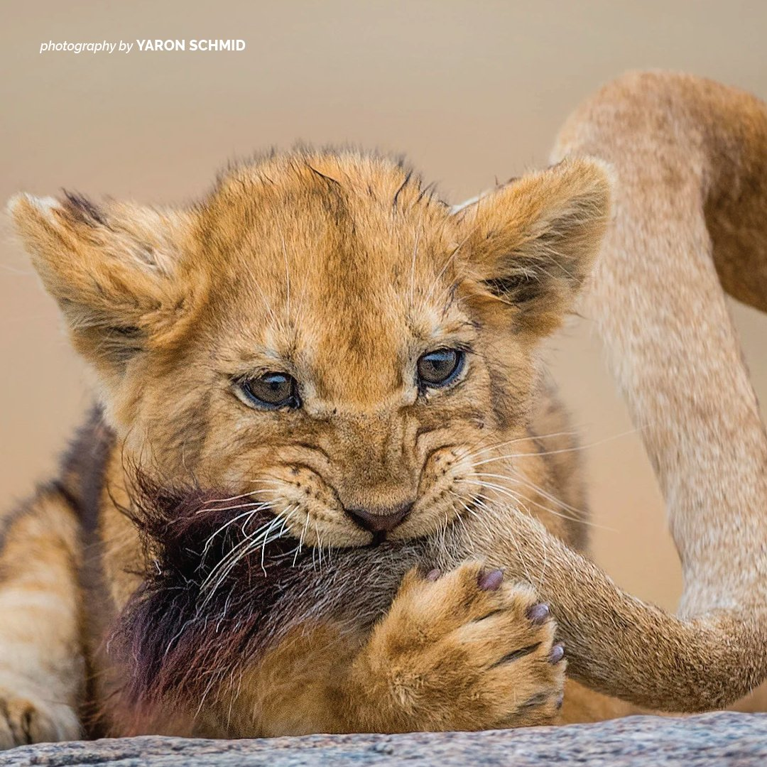 Life for lion cubs is all about play. So much more than just a fun way to pass the time, play also helps little lions develop and grow. https://t.co/ccAL2RdIAS https://t.co/YkoeFONJ9A