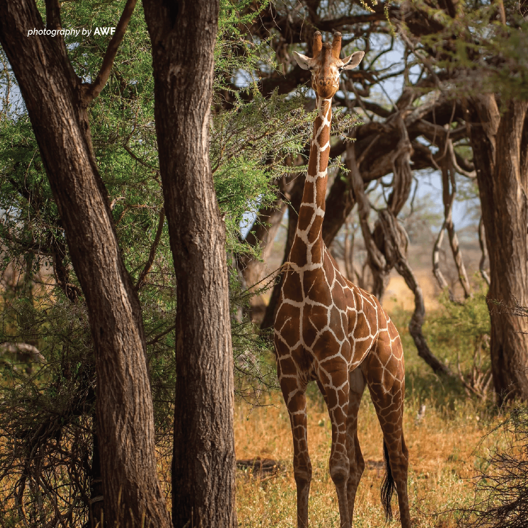 Giraffes are becoming increasingly more vulnerable as exploitation, agricultural expansion and habitat fragmentation continues. See what AWF is doing to prevent the world's tallest mammal from becoming endangered. https://t.co/g7pt2fH7Ci https://t.co/kY7VNDVJF7