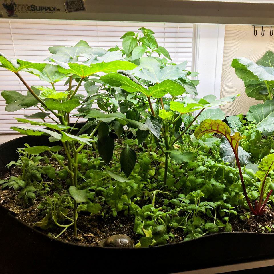 "Chuck has a pretty sweet setup for his homegrown #veggies in #OKC! Shown here is a seriously ""LUSH""ious  #indoorgarden of #okra, #broccoli, #mint, & #beets. What's your indoor #garden filled with?  🌱 #RootsOrganics #LUSH - https://t.co/dpKrYk0G0u * #Soil Prices May Vary In-Store https://t.co/48vDtrUA2k"