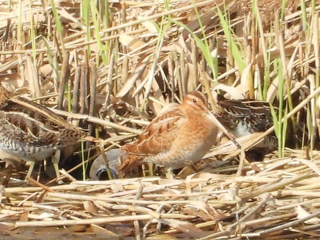 Striking warm-toned Snipe amongst 8 of his mates today from Riverwalk. Anyone familiar with Faeroe Snipe or just a colourful Common? @MercianBirding https://t.co/DVIKZ556uq