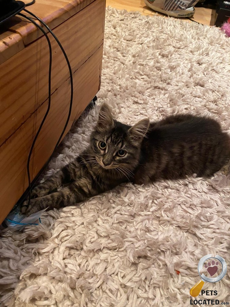 Tabby Cat found in Tower Gardens, Greater London (N17) on 18th September 2020 #foundcats #foundpets #animalrescue https://t.co/ezC1iKnDpg https://t.co/ICJ4OGZqdy