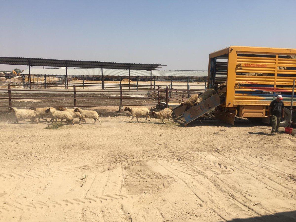 #Türkiye'den #KKTC'ye damızlık küçükbaş hayvan desteği   TİKA, KKTC'deki damızlık hayvan ihtiyacını karşılamak için Ada iklimine uygun ve sütü hellim peyniri üretiminde kullanılmaya uygun olan İvesi cinsi 253 küçükbaş hayvan desteği sağladı.  https://t.co/1uZDTo4FlL https://t.co/nKob1SIT8q