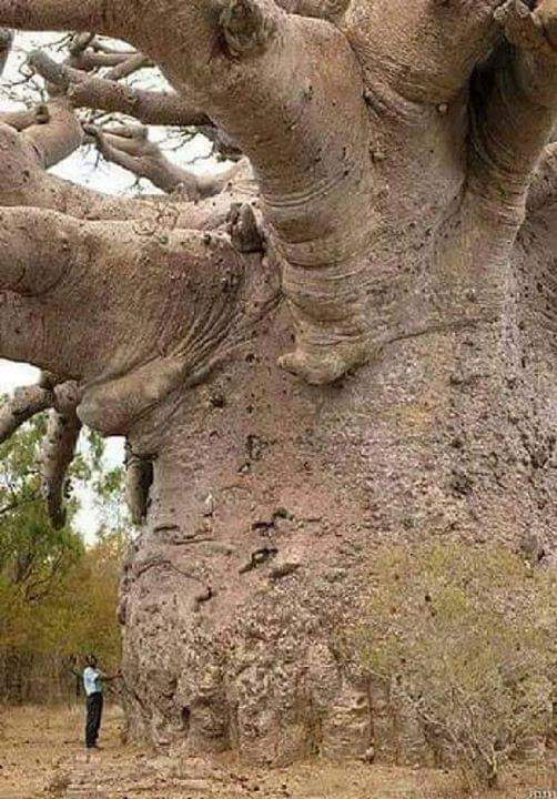 600 years old Baobab Tree #senegal #NaturePhotography #naturelover #beautifulworld #Tourism https://t.co/CzFBCKgVRr