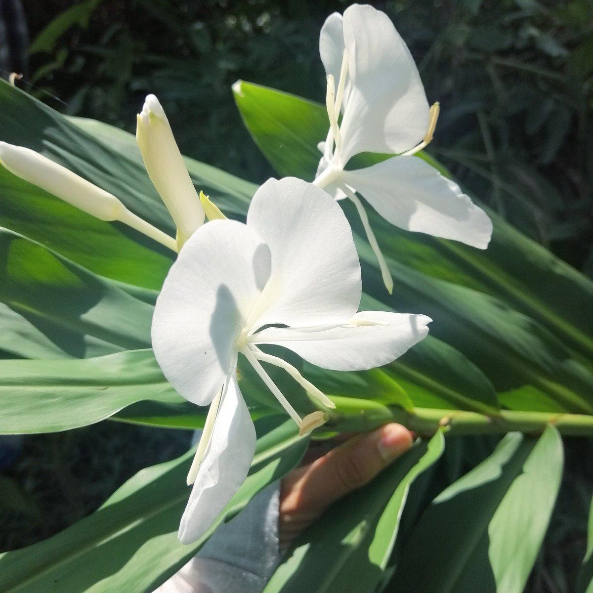 ISUAISTAKPAPALOXOCHIT es el nombre de esta flor en #Nauat/#nahuatl. .🌿 ISUAT - es una familia de #plantas con hojas largas y anchas ⚪ ISTAK - color #blanco 🦋 PAPALOT - #mariposa (por la forma de la flor) 🌼 XOCHIT - #flor https://t.co/jjWvyv63e1
